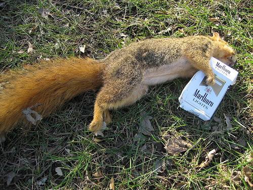 vjeverica-marlboro